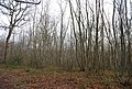 Coppiced trees, Stock Wood - geograph.org.uk - 1133259.jpg