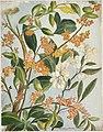 Coprosma baueri (taupata). (189-?) by Emily Cumming Harris.jpg