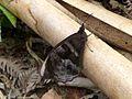 Corades sp.^ Satyridae - Flickr - gailhampshire.jpg