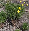 Coreopsis gigantea.jpg