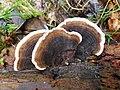 Coriolus versicolor - Flickr - gailhampshire (1).jpg