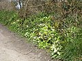 Cornish hedgerow in Spring at Killifreth Mine - geograph.org.uk - 755601.jpg