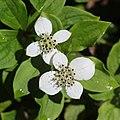 Cornus canadensis (flower s2).jpg