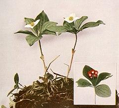 Cornus canadensis WFNY-150.jpg