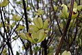 Cornus florida Cherokee Princess 8zz.jpg