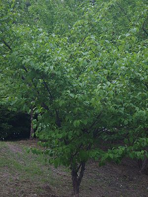Cornus officinalis - Image: Cornus officinalis 01