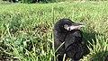 Corvus frugilegus nestling.jpg