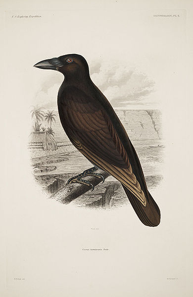 File:Corvus hawaiiensis.jpg