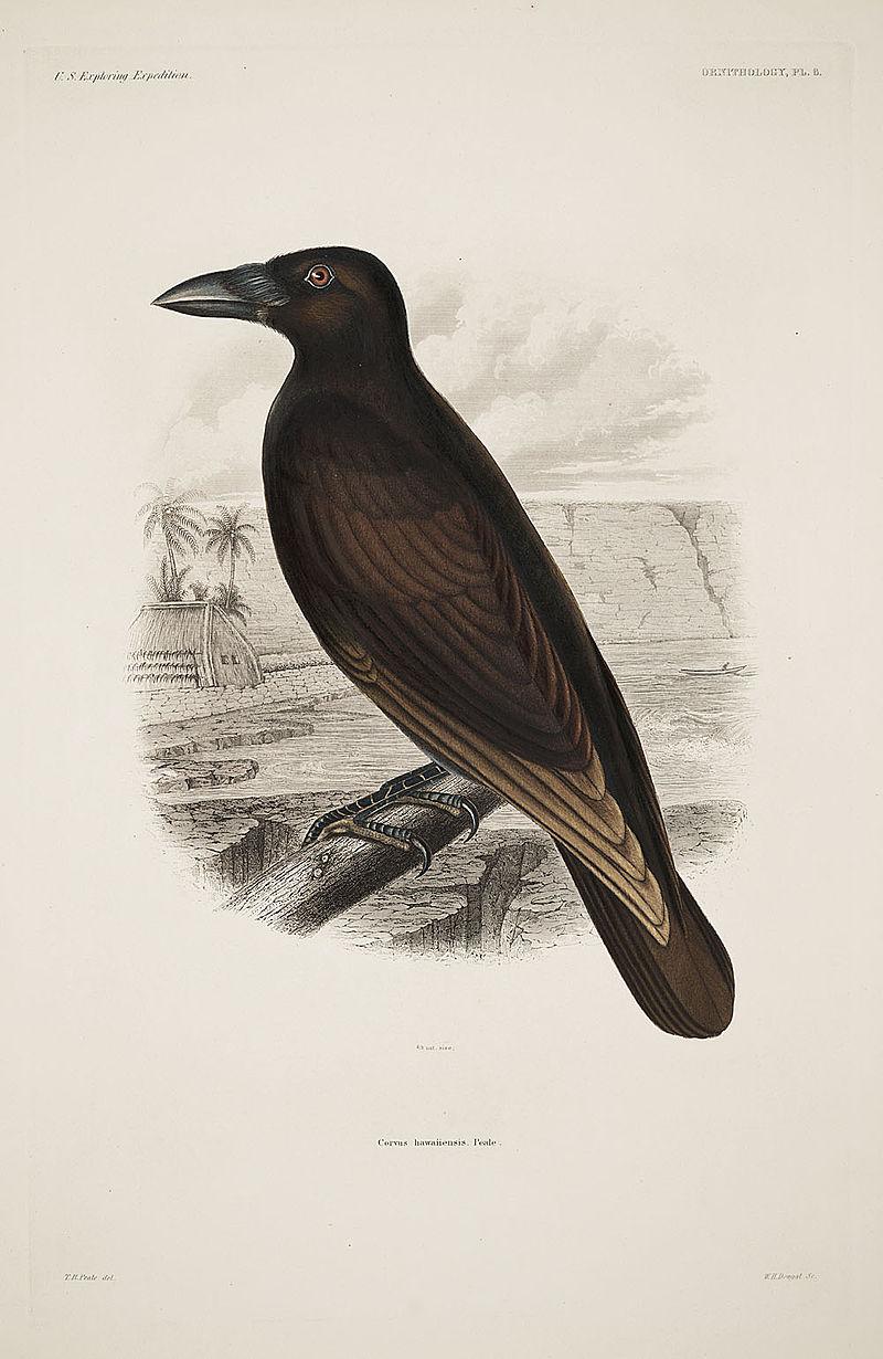 Corvus hawaiiensis.jpg