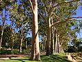 Corymbia citriodora - shedding bark 4.jpg