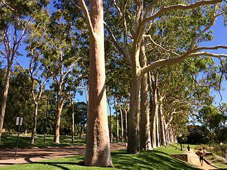 Corymbia citriodora - Corymbia citriodora along Fraser Avenue, Kings Park, Western Australia