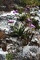 Corymbium glabrum Rebelo 1.jpg