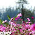 Cosmos flowers in Thailand 04.jpg