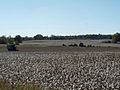 Cotton field outside Huntsville, Alabama Oct 2011.jpg