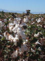 Cotton field outside Safford, Arizona.jpg