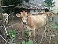 Cow at Rajula Tallavalasa village 1.jpg