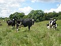 Cows, near Wheatlands Coppice - geograph.org.uk - 1377218.jpg