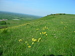 Cowslips on Firle escarpment.JPG