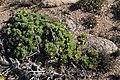 Crassothonna cylindrica (Asteraceae) (36752544114).jpg