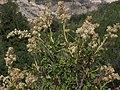Creambush, Holodiscus microphyllus (24132651986).jpg