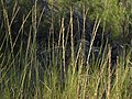 Creeping wildrye, Elymus triticoides (16160624471).jpg