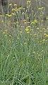 Crepis setosa plant (04).jpg