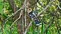 Crested Barbet (Trachyphonus vaillantii) (6016768883).jpg