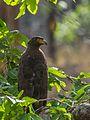 Crested Serpent Eagle-9294.jpg