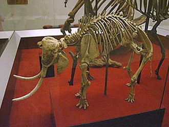Dwarf elephant - Skeleton of a Cretan dwarf elephant.