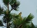 Crnogrla strnadica, mužjak (Emberiza cirlus); Cirl Bunting male.jpg