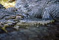 Crocodylus cataphractus 1zz.jpg