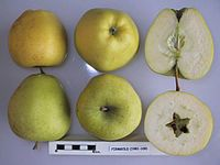 Cross section of Firmgold, National Fruit Collection (acc. 1981-109).jpg