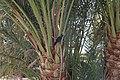 Crow on a palm tree - panoramio.jpg