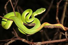 Trimeresurus gramineus - Wikipedia, the free encycloped