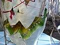 Cucurbita maxima Zapallo Plomo semillería Florensa - (PV02) 2015-01-29 zapallo día 19 exorcismo 04.jpg