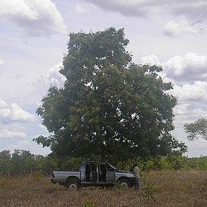 Dipteryx - Baru Tree (Dipteryx alata)