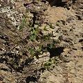 Cunila origanoides whole plant.jpg