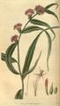 Curtis's Botanical Magazine, Plate 3062 (Volume 58, 1831).png