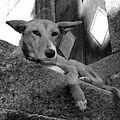 Cute dog (427147974).jpg