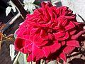 Cute rose.jpg
