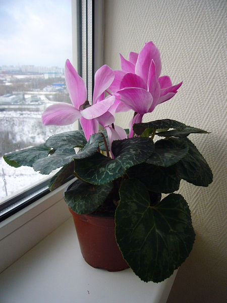 File:Cyclamen house-plant.jpg