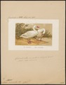 Cygnus chionis - 1873 - Print - Iconographia Zoologica - Special Collections University of Amsterdam - UBA01 IZ17600249.tif
