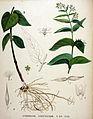 Cynanchum vincetoxicum — Flora Batava — Volume v20.jpg