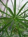 Cyperus alternifolius 02.jpg
