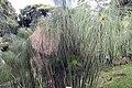 Cyperus papyrus 30zz.jpg