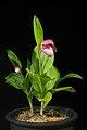 Cypripedium macranthos Sw., Kongl. Vetensk. Acad. Nya Handl. 21 251 (1800) (40903523533).jpg