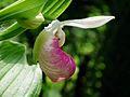 Cypripedium reginae MLA.jpg