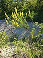 Cytisus nigricans sl6.jpg