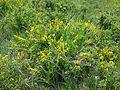 Cytisus procumbens sl19.jpg