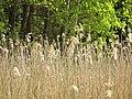 DSC02283 Wildwuchs am Teich zur Aufzucht autochthoner Fischarten,,..,.jpg